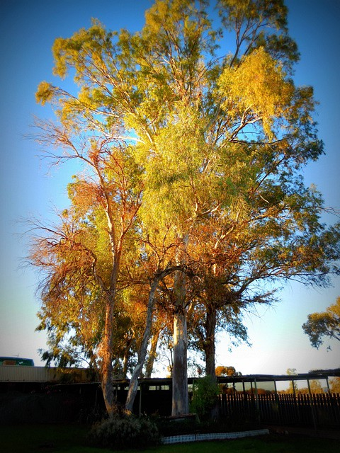 Lever du jour dans un eucalyptus à Marla (Centre de l'Australie)