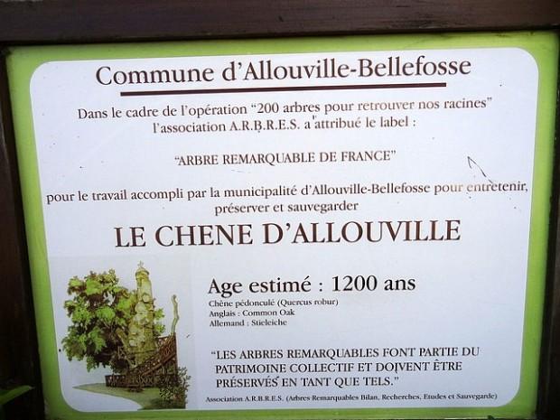 Chêne d'Allouville-Bellefosse (3)