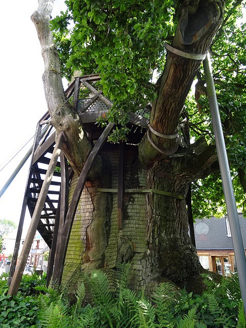 Chêne d'Allouville-Bellefosse (9)